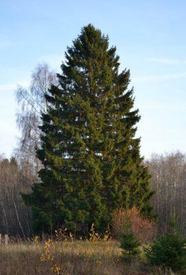 vuren spar voor steigerhout / vurenhout